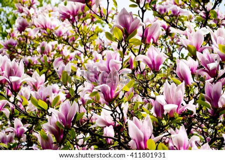 Bloomy magnolia tree big pink flowers stock photo royalty free bloomy magnolia tree with big pink flowers spring is hereblooming magnolia in mightylinksfo