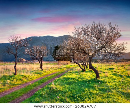 Bloosoming almond garden on the cape San Vito, Sicily, Italy, Europe. - stock photo