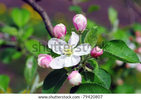 blossom apple tree. Apple flowers close-up. - stock photo