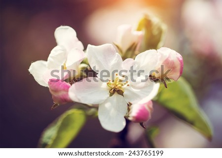 Blossom apple tree  over nature background/ Spring flowers/Spring Background, toned image - stock photo