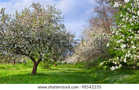 Blossom apple-trees garden at the spring. Sunny day - stock photo