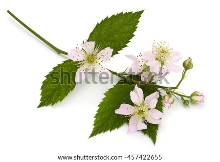 Blossom blackberry fruit bunch isolated on white background