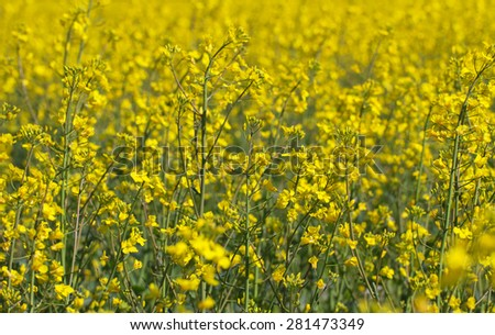 Blossom canola in a spring. - stock photo