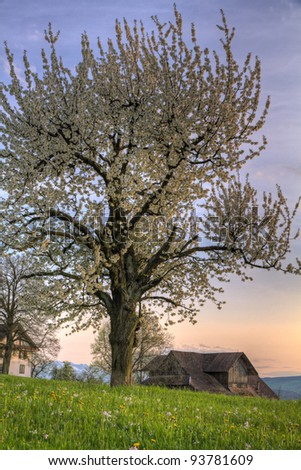 Blossom cherry tree at sunset and green spring meadow with vintage wooden farm house on a hill - stock photo