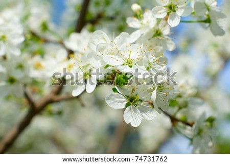 blossom cherry tree (selective focus)