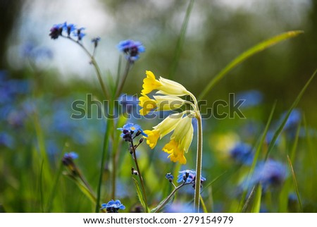 Blossom cowslip close up with blue forget-me-not flowers in spring. - stock photo