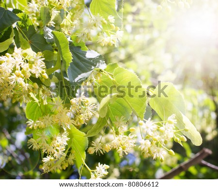 Blossom linden outdoor with sun - stock photo