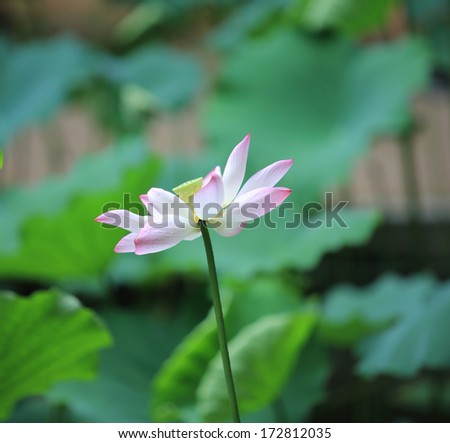 blossom lotus flower alone in Japanese pond; focus on flower