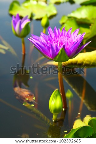 blossom lotus flowers in pond - stock photo