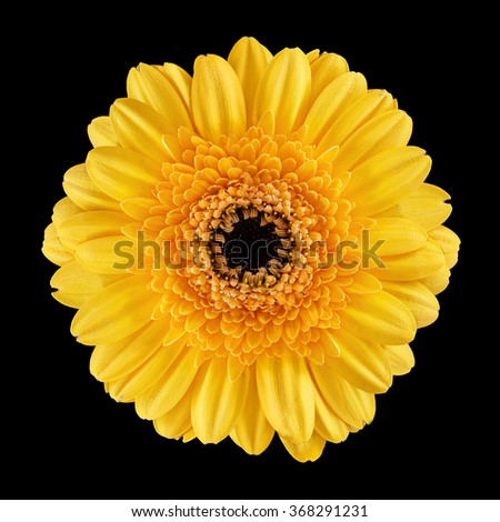 Blossom of a Gerbera with yellow petals over black background - stock photo