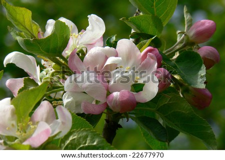 blossom of appletree with buds - stock photo