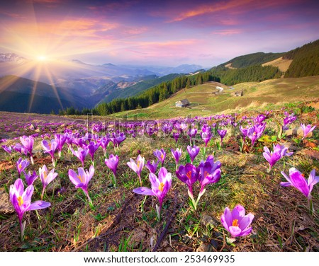 Blossom of crocuses at spring in the mountains. Colorful sunset. - stock photo