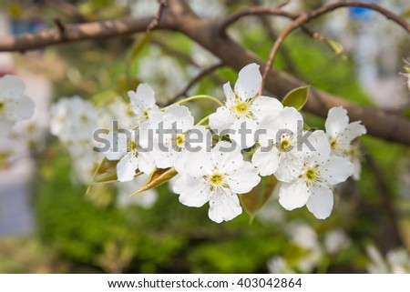 Blossom fruit trees white flowers pear stock photo royalty free blossom of fruit trees white flowers pear tree mightylinksfo