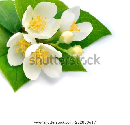 Blossom of Jasmine flower isolated on white background - stock photo