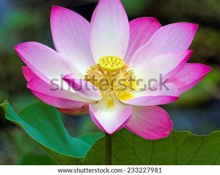 blossom of lotus  - stock photo