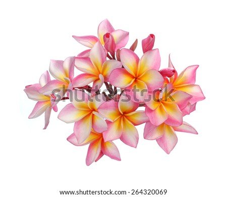 Blossom of red Plumeria flower, tropical flower isolated on a white background - stock photo