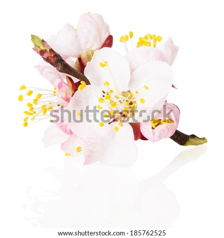 blossom of the apricot on white background