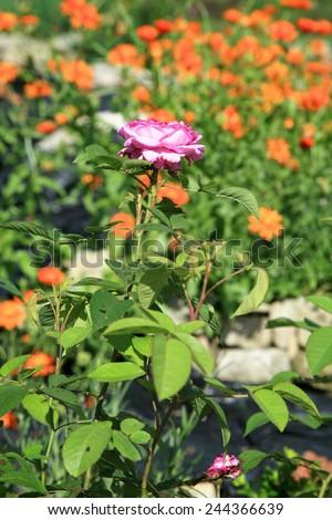 Blossom of the historic pink rose Reine des Violettes in the summer rustik garden. - stock photo
