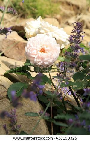 Blossom of the nostalgic, historic pink  rose Grü� an Aachen in the summer garden.  - stock photo