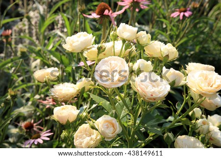 Blossom of the nostalgic historic pink  rose Pastella in the summer garden - stock photo