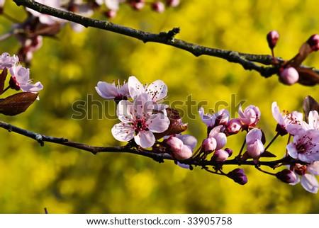 Blossom of Wild Plum Tree - stock photo