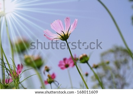 Blossom pink flower in a beautiful day  - stock photo