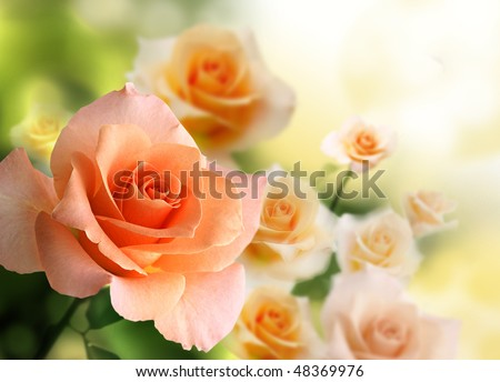 blossom pink roses - stock photo