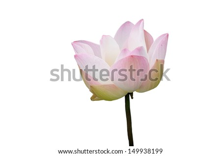 Blossom pink sacred lotus flower or water lily isolated on white background