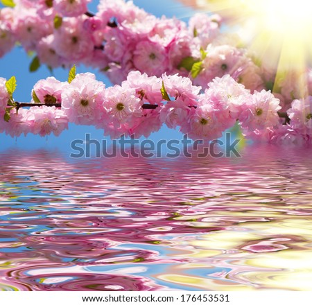 Blossom pink sakura flowers in springtime - stock photo