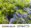 "Blossom plant ""Wisteria sinensis"" with violet flowers in spring park (Crimea ,Ukraine) - stock photo"