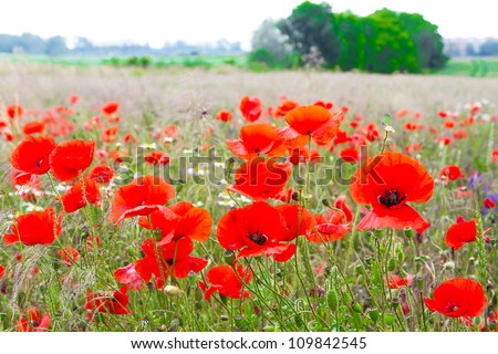 Blossom poppy flowers on the meadow - stock photo