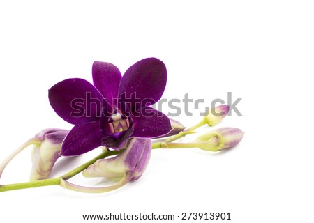 Blossom purple orchid is isolate on whte background. - stock photo