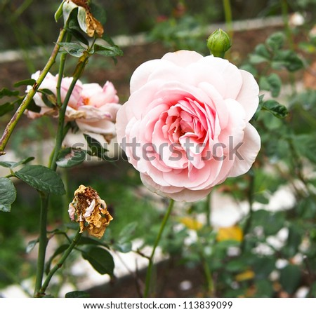 blossom rose - stock photo