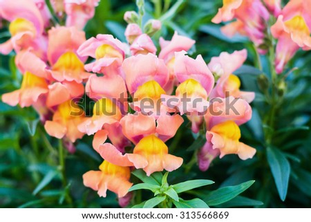 Blossom Snapdragons , Antirrhinum majus, - stock photo