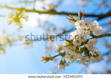Blossom tree branches with sky at background.