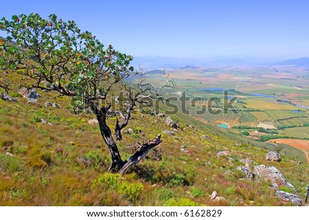 Blossom tree on hill - mountain rural landscape with lakes is background. Shot in Kasteelberg Mountains nature reserve, near Riebeek, Western Cape, South Africa. - stock photo