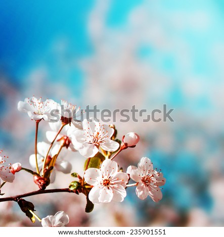 Blossom tree over nature background/ Spring flowers/Spring Background - stock photo