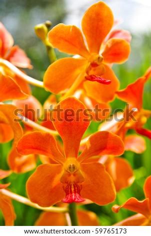 blossom vanda orchid - stock photo