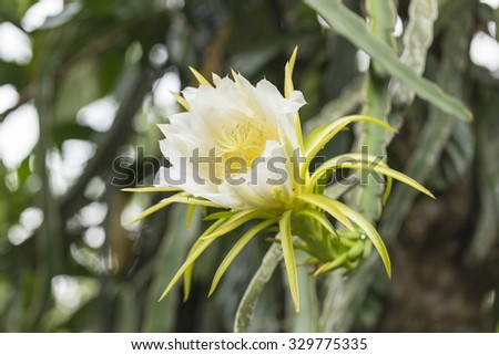 Blossom white dragon fruit flower on blooming (hylocereus cactaceae), Night Blooming flower. - stock photo