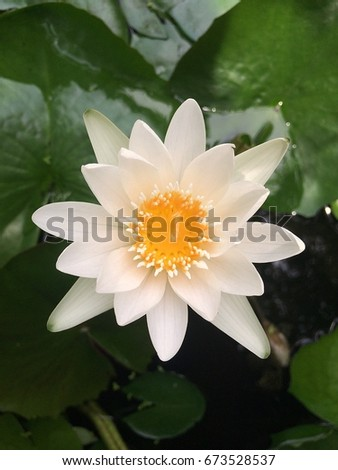 Blossom white lotus flower buddha day stock photo image royalty blossom white lotus flower in buddha day in thailand mightylinksfo