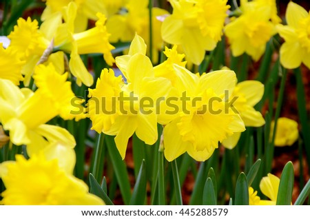 Blossom yellow daffodil in the spring garden with natural light and soft background. - stock photo