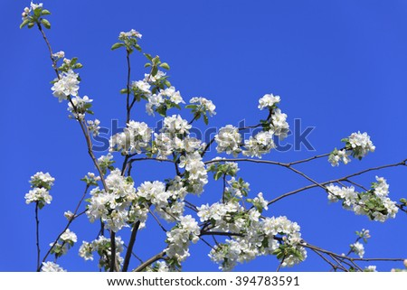 blossomed tree spring - stock photo