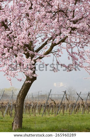 Blossoming Almond Tree in vineyard
