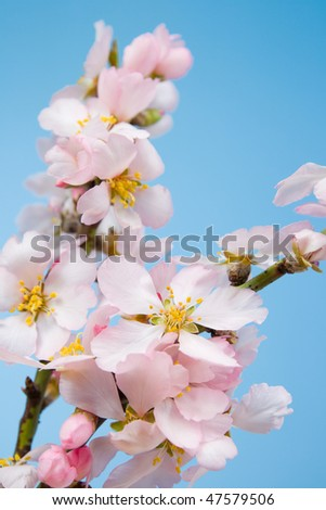 Blossoming almond trees against the blue sky. - stock photo