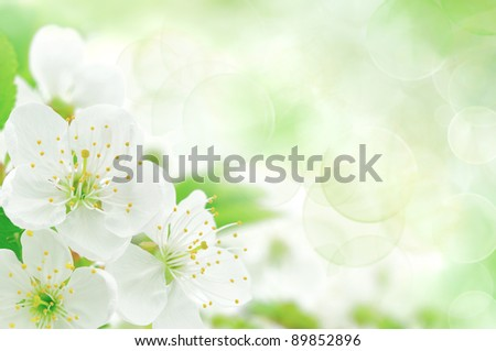 Blossoming an cherry on a light background - stock photo