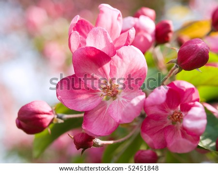 Blossoming apple. - stock photo