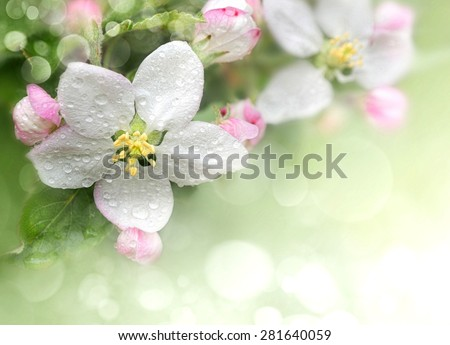 Blossoming apple. Branch of apple tree in bloom in the spring. Close-up.