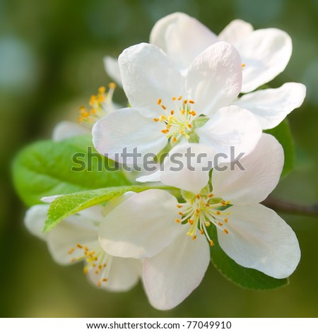 Blossoming apple closeup background. - stock photo