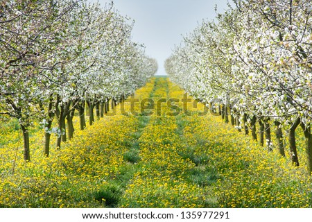 Blossoming apple orchard  in spring - stock photo