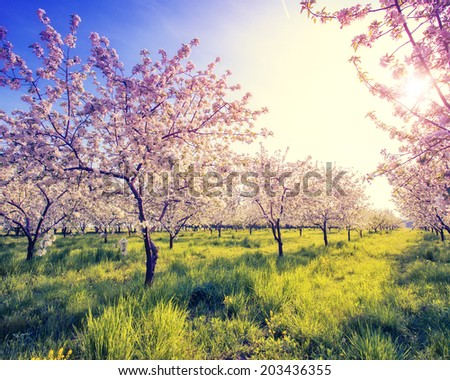 Blossoming apple orchard in spring and blue sky. Retro filtered. Instagram effect. Ukraine, Europe. Beauty world. - stock photo